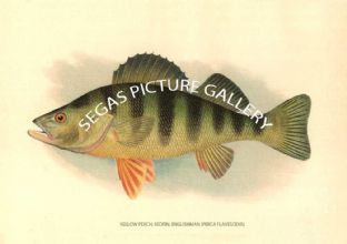 Yellow Perch; Redfin; Englishman